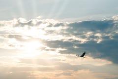 Flying stork at sunset Stock Image