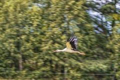 Flying Stork. Tree in Background Stock Image