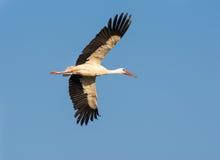 Flying Stork Stock Photos