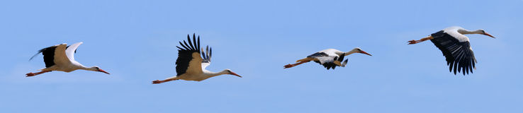 Flying storks Stock Photography