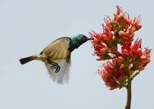 Flying sunbird Royalty Free Stock Photos