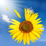 Flying sunflower Royalty Free Stock Image