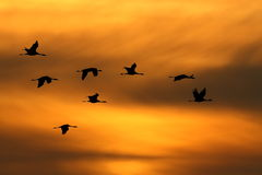 Flying into the sunset. Silhouette of birds before the golden sky Stock Photography
