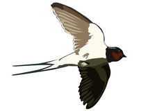 Flying swallow Stock Photo
