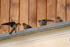 Flying swallow feeding chicks Royalty Free Stock Photography