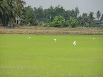 Flying swallows birds on rice field Royalty Free Stock Photos