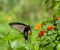 Flying swallowtail butterfly feeding Stock Photo