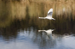 Flying swan Royalty Free Stock Photography