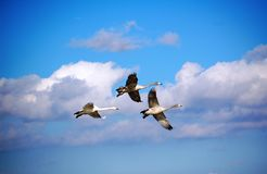 Flying Swan. A group of three swans fly high Stock Photography
