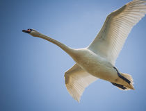 Flying swan Stock Photos