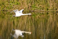 Flying Swan. White flying Swan Stock Images