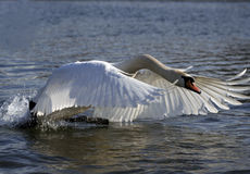 Flying Swan Royalty Free Stock Images