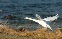 Flying Swan. A background with a view of a swan taking of stretching its wings, at seaside royalty free stock photos