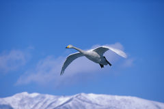 Flying swan Stock Image
