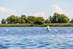 Flying swan in Danube Delta. Beautiful landscape photo of Danube Delta in Romania stock photography