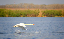 Flying swan stock photos