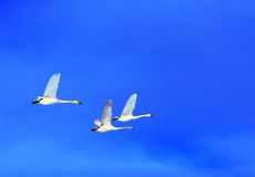 Flying Swan Family Royalty Free Stock Images