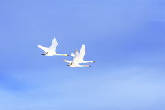 Flying Swan Family Stock Photography