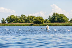 Flying Swan In Danube Delta Stock Photography