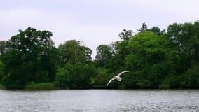 Flying swan Royalty Free Stock Photos