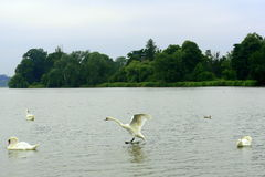 Flying swan Stock Photography