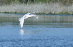 Flying Swan. White swan flies over pond stock photography