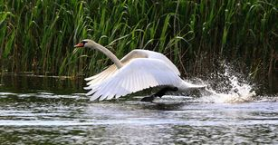 Flying Swan Royalty Free Stock Image