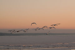 Flying swans Royalty Free Stock Images