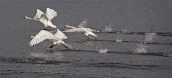 Flying swans. Taking off on the river Coquet Northumberland England stock photo