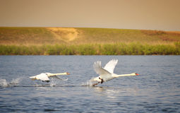 Flying Swans Royalty Free Stock Image
