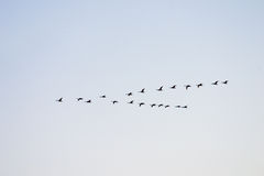 Flying swans. Flying white swans on a background of the evening sky seem black Royalty Free Stock Photo