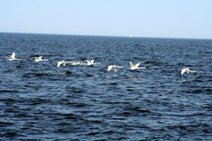 Flying swans. Flock of swans flying over the Baltic Royalty Free Stock Image