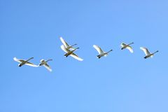 Flying swans Royalty Free Stock Photos