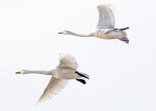 Flying swans couple Royalty Free Stock Photos
