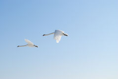 Flying swans Stock Photos