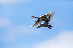 Flying swans couple in blue sky Stock Photo