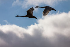 Flying swans couple in blue sky Royalty Free Stock Photo