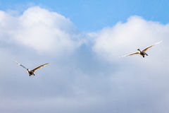Flying swans couple under while cloud Royalty Free Stock Image