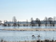 Flying swans over flood field, Lithuania stock photos