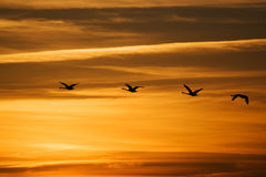 Flying swans silhouettes against sunset sky. Flying swans silhouettes against orange sunset sky Stock Photo