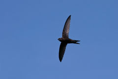 Flying swift. Common Swift (Apus apus) is the fastest bird of Europe Stock Photography