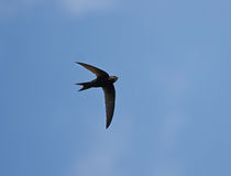 Flying swift. Common Swift (Apus apus) is the fastest bird of Europe Royalty Free Stock Photos