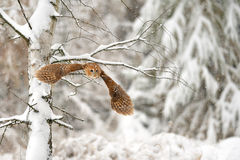 Flying tawny owl. In winter time whne is snowing Royalty Free Stock Photo