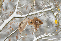 Flying tawny owl Royalty Free Stock Image