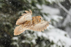 Flying tawny owl Stock Images