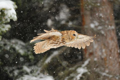 Flying tawny owl. In winter time whne is snowing Royalty Free Stock Photos