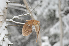 Flying tawny owl. In winter time whne is snowing Stock Photo