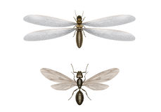 Flying termite and flying ant. Illustration of differences flying termite from a flying ant Stock Photos