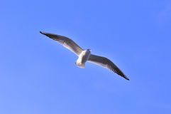 Flying Tern Stock Photography