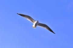 Flying Tern Stock Photography